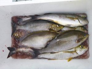イサキ よく釣れました